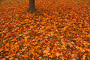 Sugar maple (Acer saccharum) leaves and tree trunk<br />Rivière-du-Loup<br />Quebec<br />Canada