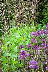 Allium 'Purple Rain' with Pea 'Alderman' in the vegetable garden