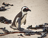 African Penguin. Boulders Beach, Simon's Town, South Africa. Image taken with a Leica T camera and 55-135 mm lens.