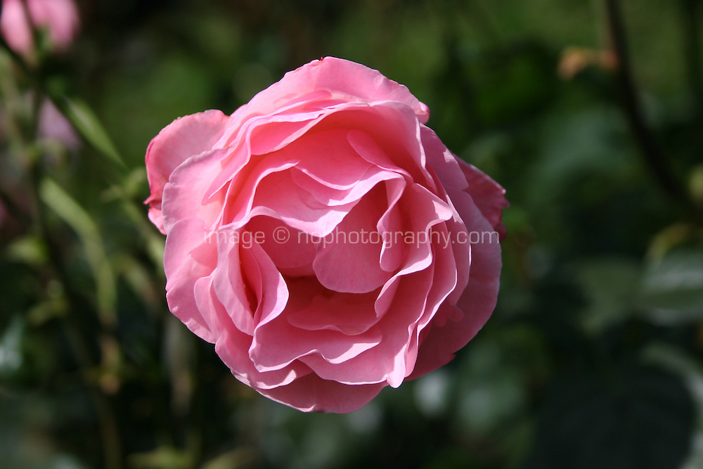 A pink rose growing in a garden