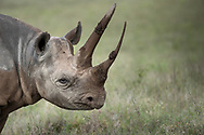 Sonia, unique Black Rhino, makes an entrance in Lewa, Kenya. Her presence, like a time machine, transports one back to prehistoric times.