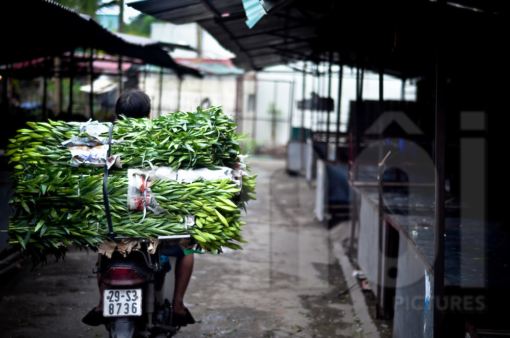 A big pack of flowers aer carried on the back of a motorbike in one of the deserted alley of the flower market, Hanoi.