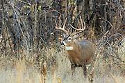 Whitetail buck in brushy, wooded autumn habitat