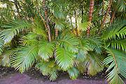 Lush green bamboo plants in Hawaii.