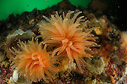 Deep-sea coral - Crested cup coral (Desmophyllum dianthus) Comau Fjord, Patagonia, Chile |
