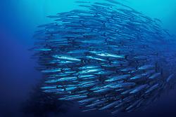 A massive school of Chevron Barracuda, Sphyraena qenie, mills about in open water near a deep drop-off.  Mary Island, Solomon Islands, Pacific Ocean. filename: cuda8