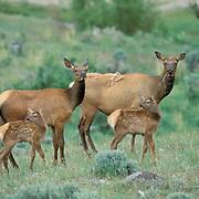 Elk, (Cervus elaphus) Cows with their calves.