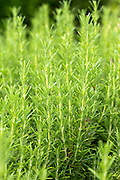 Rosemary herb, Rosmarinus officinalis, in organic vegetable and herb garden in Oxfordshire UK