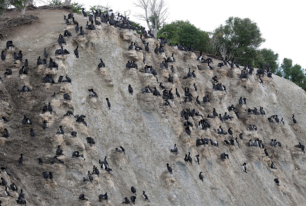 Nesting colony of Rock Shags (Phalacrocorax magellanicus) in the cliffs of  Isla Martillo in the Beagle Channel. Ushuaia, Argentina. 13Feb16