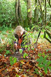 Layering Viburnum bodnantense 'Dawn'. Carol Klein digging up rooted layer in autumn