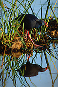 Purple Swamphen, almost extinct in Portugal in the ?70s, is now recovering, especially in Ria Formosa Natural Park - Algarve, Portugal