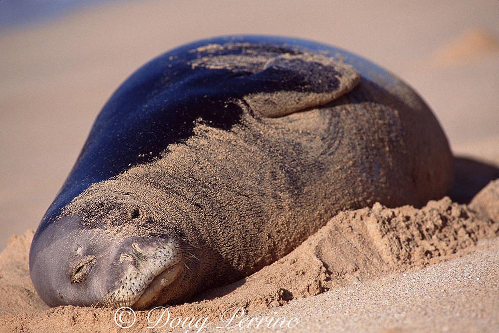Hawaiian monk seal, Neomonachus schauinslandi (formerly Monachus schauinslandi ), Critically Endangered, endemic to Hawaiian Islands, sleeping on beach, covered in sand, south shore, Kauai, Hawaii, United States ( Central Pacific Ocean )