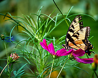 Tiger Swallowtail butterfly on a Cosmos flower in my wildflower meadow. Backyard summer nature in New Jersey. Image taken with a Fuji X-T2 camera and 100-400 mm OIS telephoto zoom lens (ISO 200, 400 mm, f/5.6, 1/125 sec).