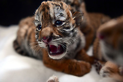 April 24, 2018 - Shenyan, China - An adorable Siberian tiger cub at a zoo in Shenyang, northeast China's Liaoning Province. (Credit Image: © SIPA Asia via ZUMA Wire)