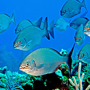Brassy Chub inhabit reefs and adjacent areas in Tropical West Atlantic, also circumtropical; picture taken San Salvador, Bahamas.