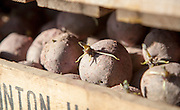 Seed potatoes ready for planting in farm chitting trays, Orford, Suffolk, England