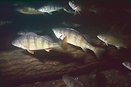 School of Yellow Perch<br /> <br /> Roger Peterson/ENGBRETSON UNDERWATER PHOTO
