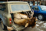 Bull Elk (Cervus canadensis) killed by hunter, Gardiner, Montana