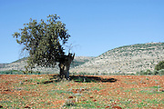Israel, Upper Galilee, The Bedouin village of Wadi Salame, Ancient Mount Tabor Oak (Quercus ithaburensis) tree
