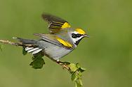Golden-winged Warbler - Vermivora chrysoptera - male