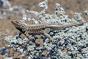 Am endemic Lava Lizard, Microlophus albemarlensis, feeds on tiny flowers on the island of Bartolome in the Galapagos, Ecuador.