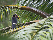 Yellow-thoated Toucan (ramphastos ambiguus) waiting out a downpour, Barrio La Immaculada, Quepos, Costa Rica.