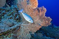Unicornfish and Seafan