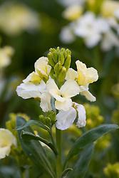 Erysimum 'Ivory White' - wallflower