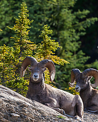 A couple of Bighorn rams in Jasper National Park