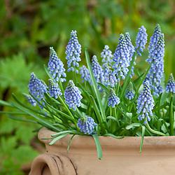 Grape hyacinths in a terracotta pot in Spring. Muscari armeniacum