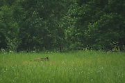 Wild boar (Sus scrofa) feeding in meadow, Northern Vidzeme, Latvia Ⓒ Davis Ulands   davisulands.com