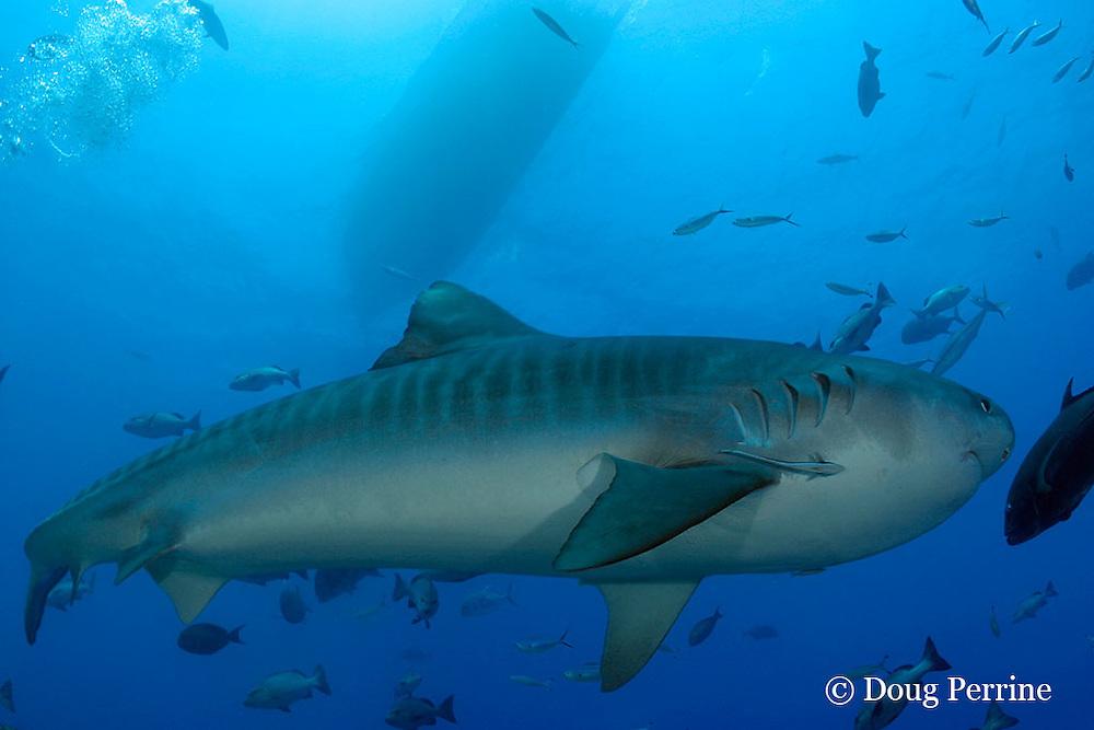 tiger shark, Galeocerdo cuvier, Shark Reef Marine Reserve, Beqa Passage, Viti Levu, Fiji ( South Pacific Ocean )
