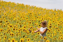 © Licensed to London News Pictures. 05/08/2020. CHORLEYWOOD, UK.  A woman takes a photo of sunflowers on a warm, sunny day which are currently in full bloom, growing in a wheat field, near Chorleywood in Hertfordshire.  The forecast is for much temperatures exceeding 30C by the end of the week..  Photo credit: Stephen Chung/LNP