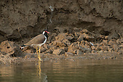 Red-wattled lapwing (Vanellus indicus)<br /> National Chambal Sanctuary or National Chambal Gharial Wildlife Sanctuary<br /> Madhya Pradesh, India<br /> Range: Indian Subcontinent & Asia