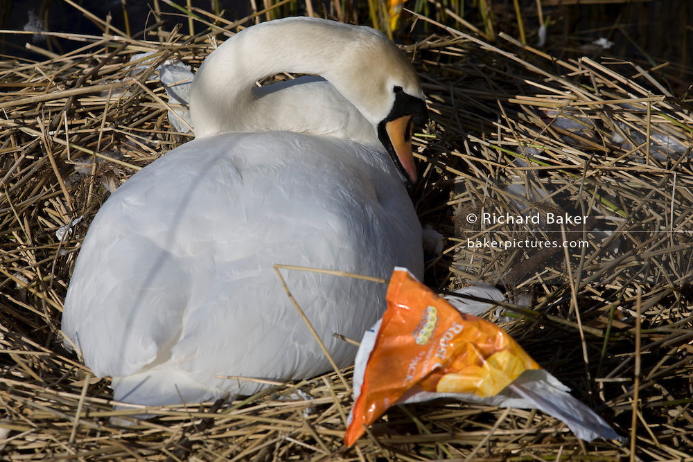 A female mute swan (pen) incubates her eggs on a nest surrounded by plastic bags waste, in an urban water basin.
