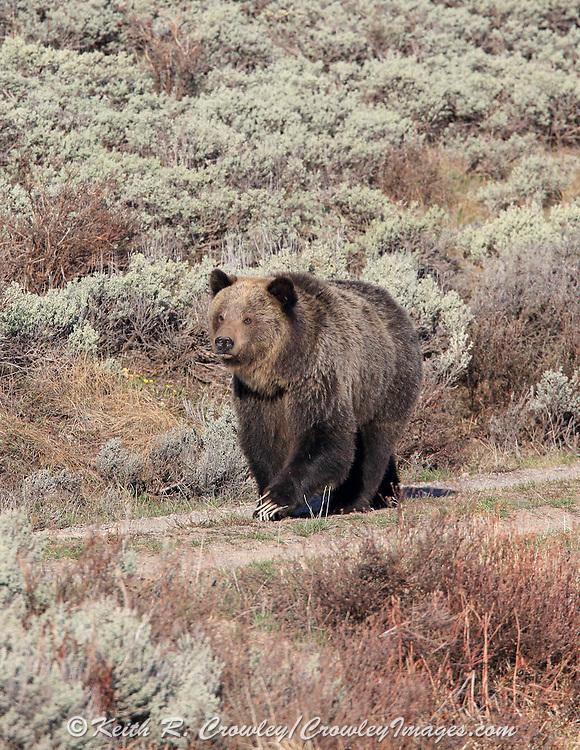 Grizzly bear (Ursus arctos horribilus)