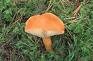 orange milkcap<br /> Lactarius aurantiacus