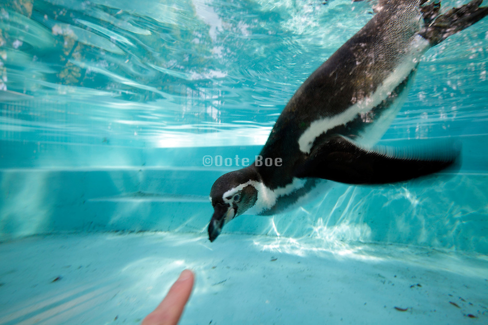 penguin being curious of a finger being pointed at him