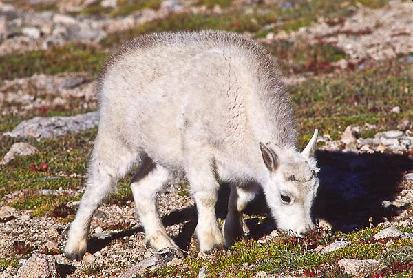 Mountain goat (Oreamnos americanus) A young kid grazing on the alpine tundra.  Mount Evans, Colorado.