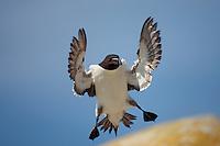 Razorbill ( alca torda ) Ireland Saltee Islands