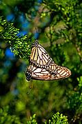 Monarchs mate in warm spring days.