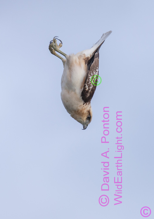 Hawaiian Hawk  making a vertical dive to capture prey, Big Island, © David A. Ponton