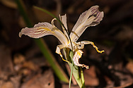 Detail of a faded iris flower in the forest of Mendocino, California