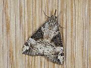 Bloxworth Snout Moth (Hypena obsitalis) in garden, Kent UK, stacked focus image