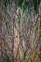 Thorny rose stems