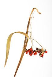 The berries of Iris foetidissima cut out. Stinking iris, Roast Beef plant