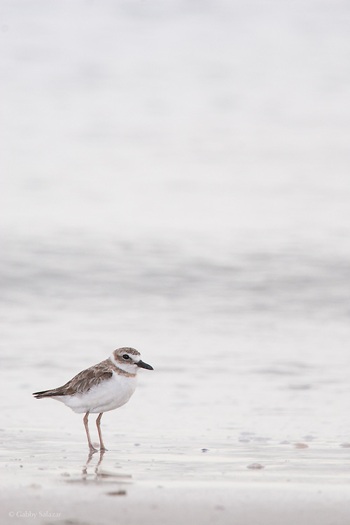 Piping plover (Charadrius melodus). Little Estero Island, Florida.