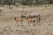 Kenya, Samburu National Reserve, Kenya, Gemsbok (Beisa Oryx), caring for the young calves, February 2007