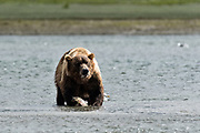 A grizzly bear boar eats chum salmon moments after catching it in the lower lagoon at the McNeil River State Game Sanctuary on the Kenai Peninsula, Alaska. The remote site is accessed only with a special permit and is the world's largest seasonal population of brown bears.