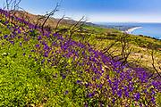 Wildflowers and fire damage above the Malibu Coast, Charmlee Wilderness Park, Malibu, California USA